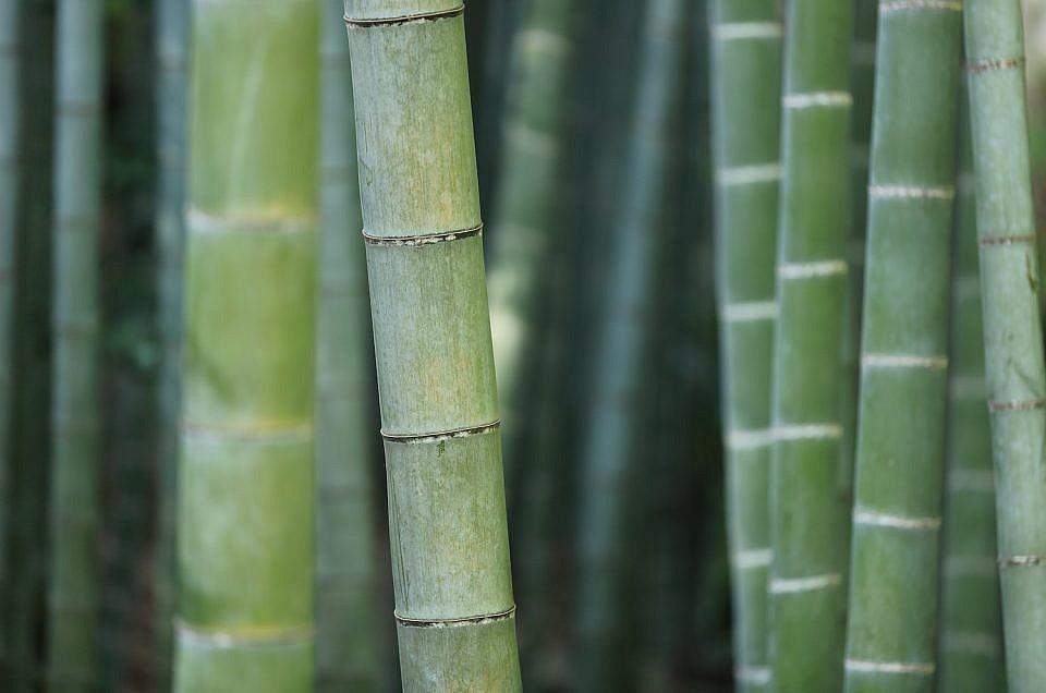Living Hybrid, Bambusa Major Multiplex